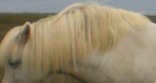 Swollen Horse's Neck