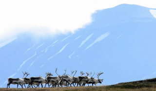 Reindeers at Kringilsárrani - Photo: Skarphéðinn Þórisson